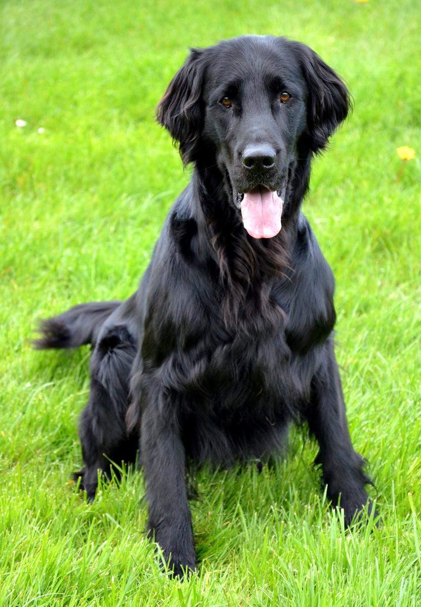 Flat-Coated Retriever Dog: Flat Coated Cute Flat Coated Retriever Dog Breed