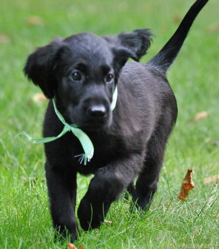 Flat-Coated Retriever Puppies - Puppy Dog Gallery
