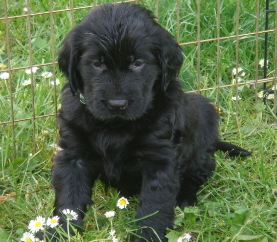 Flat-Coated Retriever Puppies: Flat Coated Flatcoated Retriever Puppies Due Worcester Breed