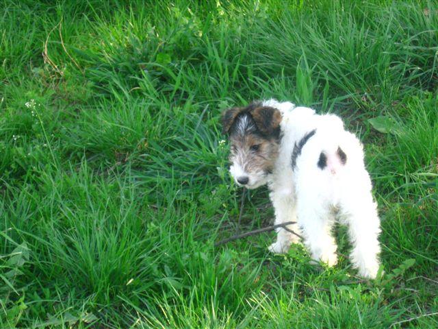 Fox Terrier, Wire Dog: Fox Breed