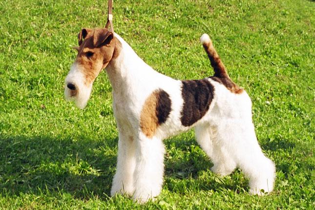Fox Terrier, Wire Dog: Fox Fox Terrier Wire Breed