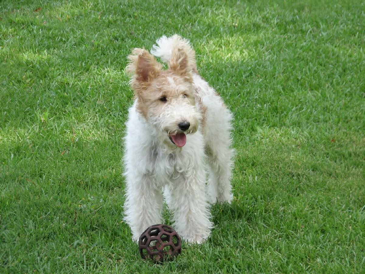 Fox Terrier, Wire Dog: Fox Lovely Fox Terrier Wire Dog Breed