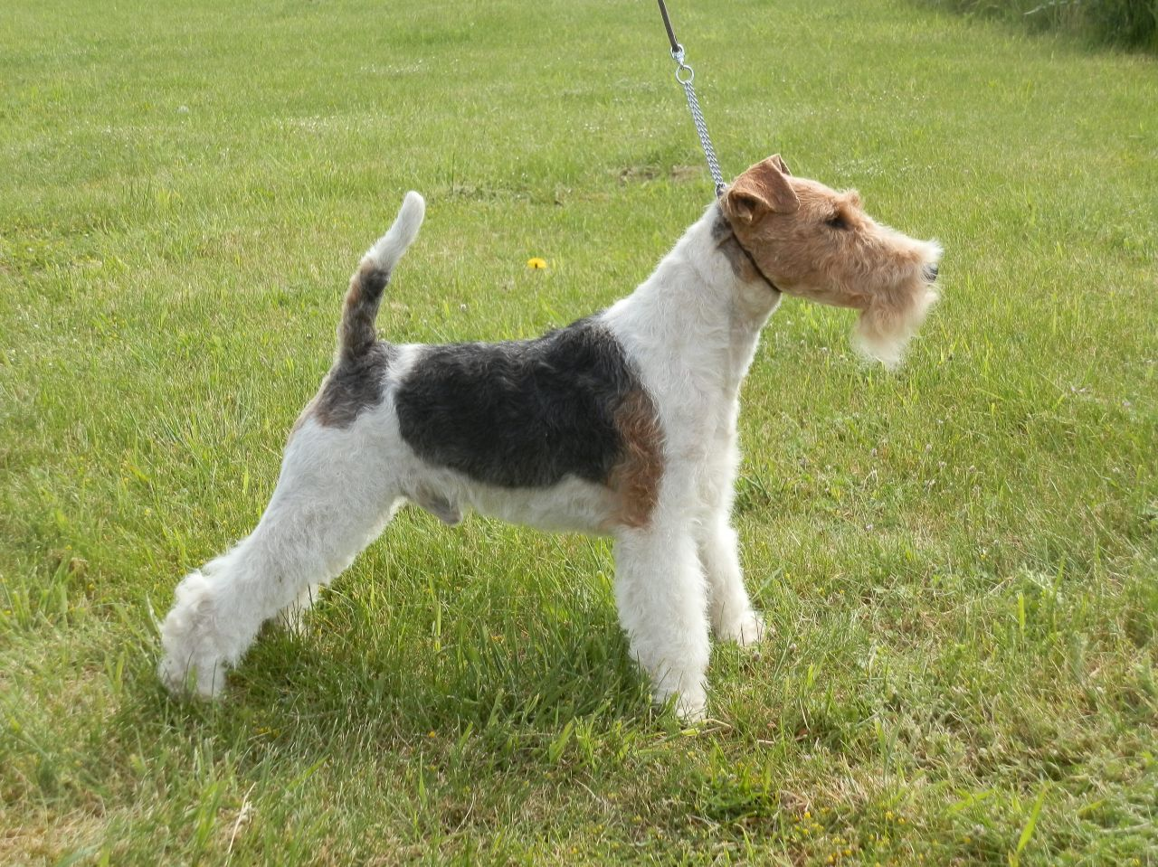 Fox Terrier, Wire Dog: Fox Proven Wire Fox Terrier Dog For Stud Kc Registered Grantham Breed