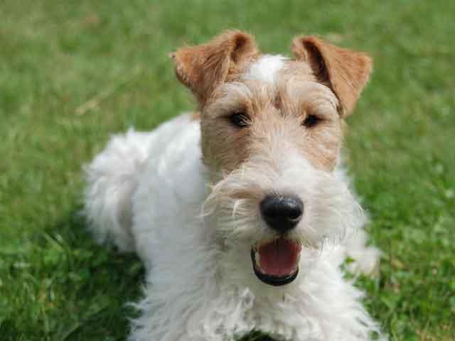 Fox Terrier, Wire Dog: Fox Rescued Wire Fox Terrier Finally Walks Breed