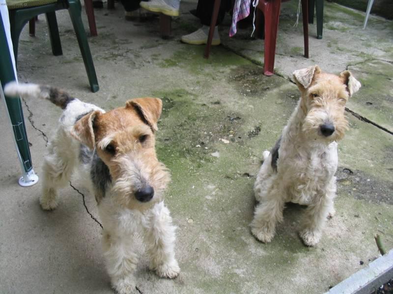 Fox Terrier, Wire Dog: Fox S Breed