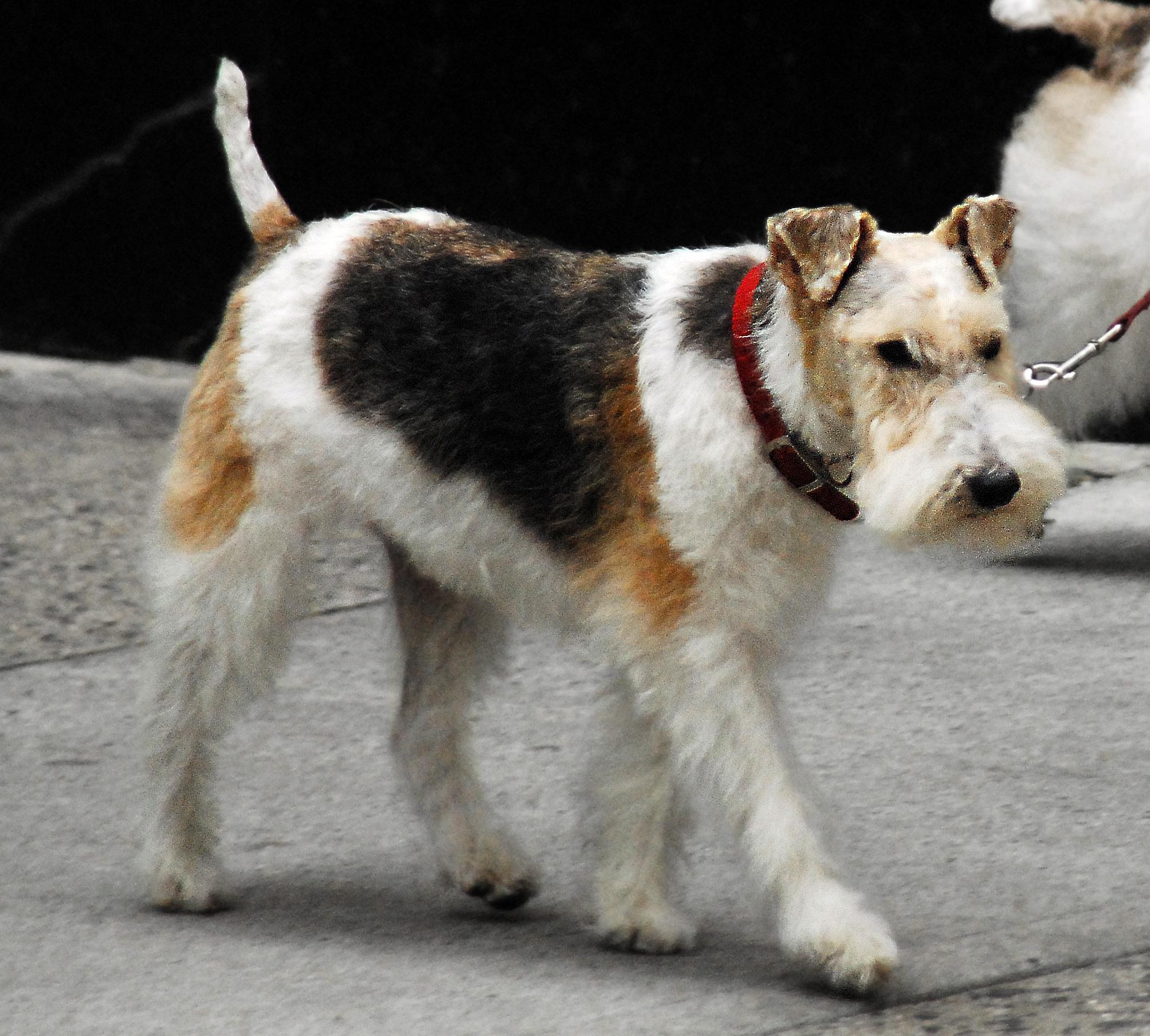 Fox Terrier, Wire Dog - Puppy Dog Gallery