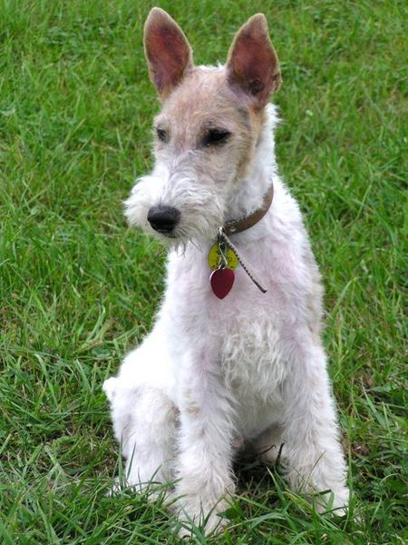 Fox Terrier, Wire Dog: Fox Wire Fox Terrier Dog Breed