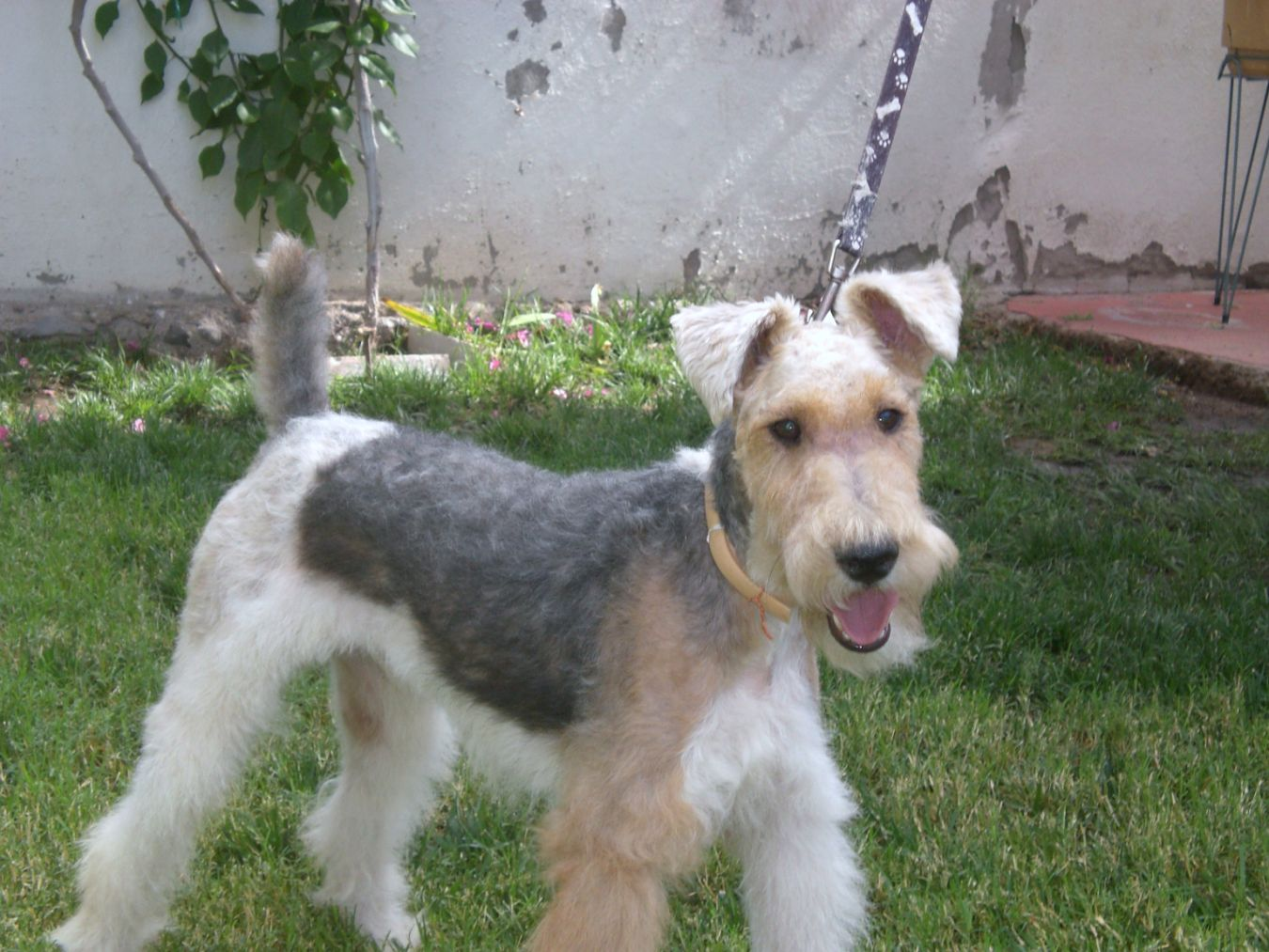 Fox Terrier, Wire Dog: Fox Wire Fox Terrier Dogs Id Breed