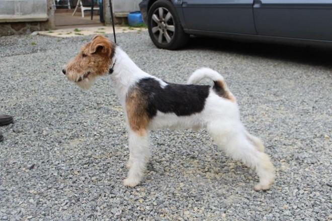 Fox Terrier, Wire Dog: Fox Wire Hair Fox Terrier Dog Canterbury Breed