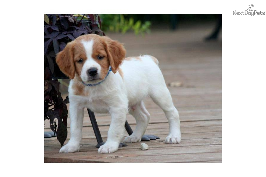 French Brittany Puppies: French Efed Ee Breed