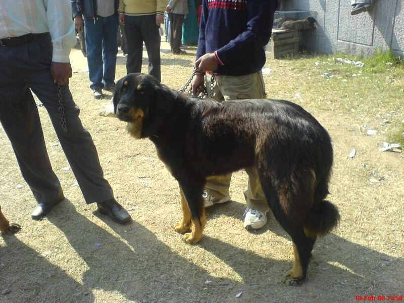 Gaddi Dog: Gaddi Display Breed