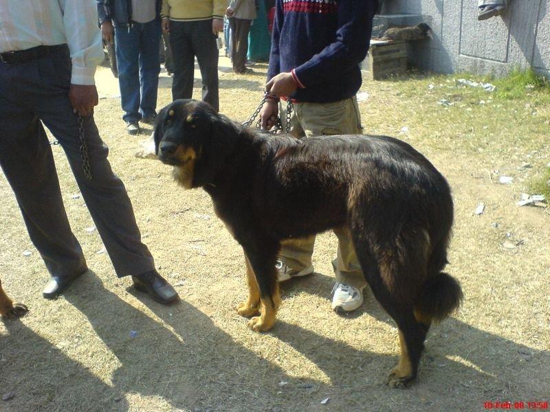 Gaddi Dog: Gaddi Display Breed