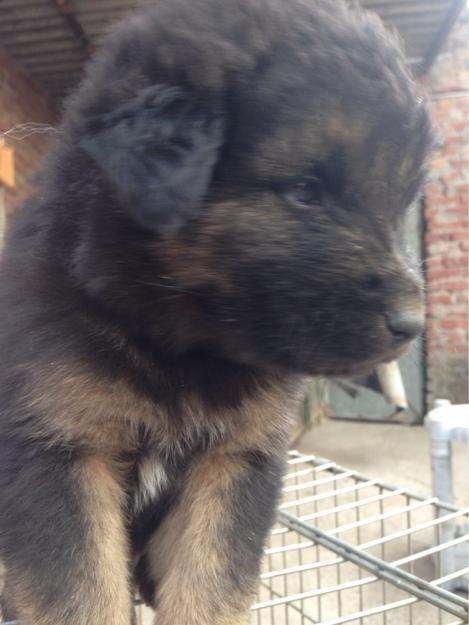 Gaddi Dog: Gaddi Male Gaddi Dog For Sale Breed