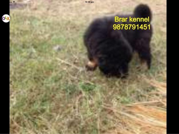 Gaddi Dog: Gaddi Pahari Gaddi Dog Femail Breed