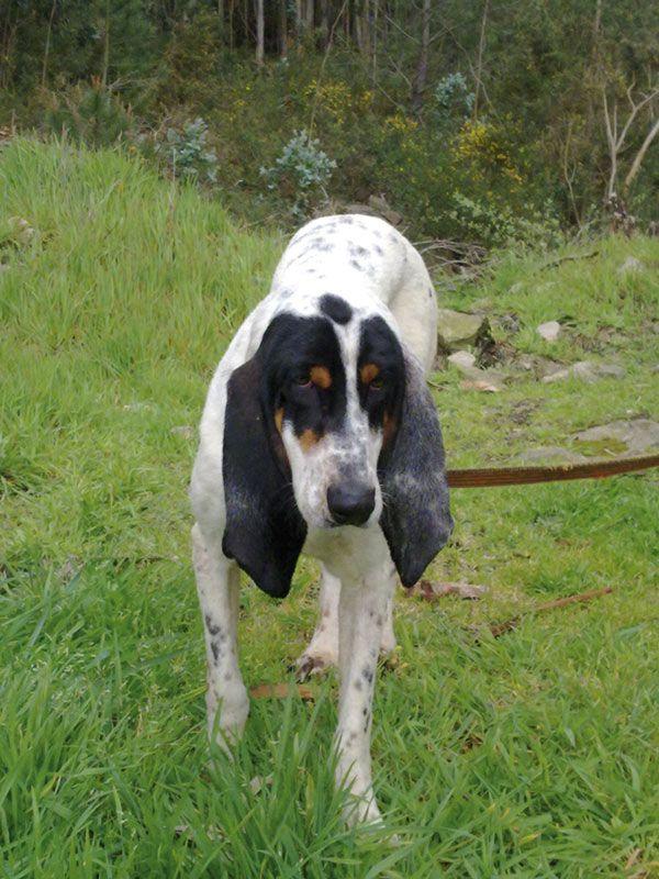 Gascon Saintongeois Dog: Gascon Breed