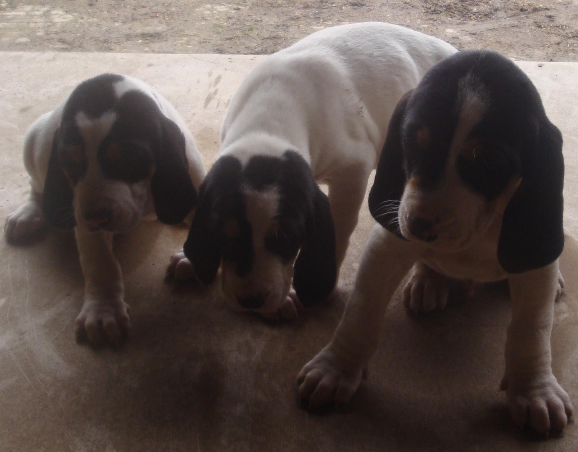 Gascon Saintongeois Dog: Gascon Picture Gallery Of Gascon Saintongeois Dog Breed