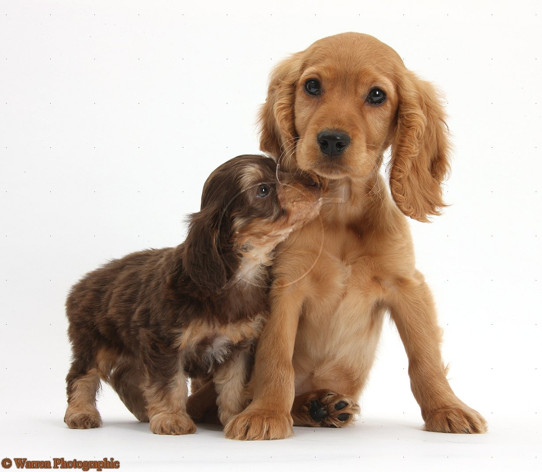 German Spaniel Puppies: German Cocker Spaniel Puppies Breed