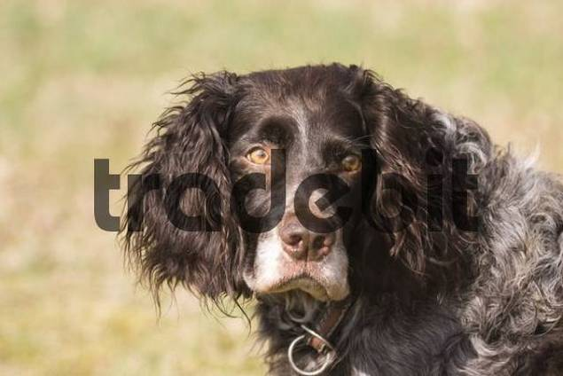 German Spaniel Dog: German Filedetail Breed