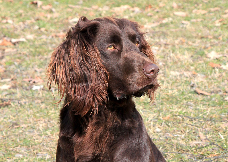 German Spaniel Dog: German German Spaniel Breed