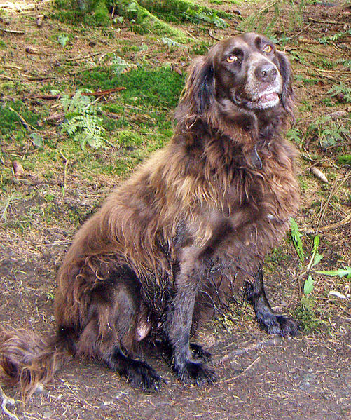 German Spaniel Dog: German German Spaniel Dog Breed