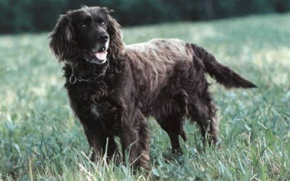 German Spaniel Dog: German German Spaniel On The Grass Breed