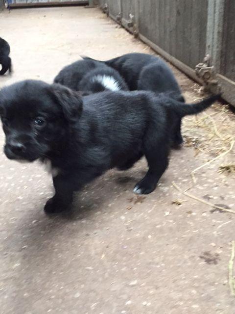 German Spaniel Puppies: German Springer Spaniel X German Shepherd Puppies Halifax Breed