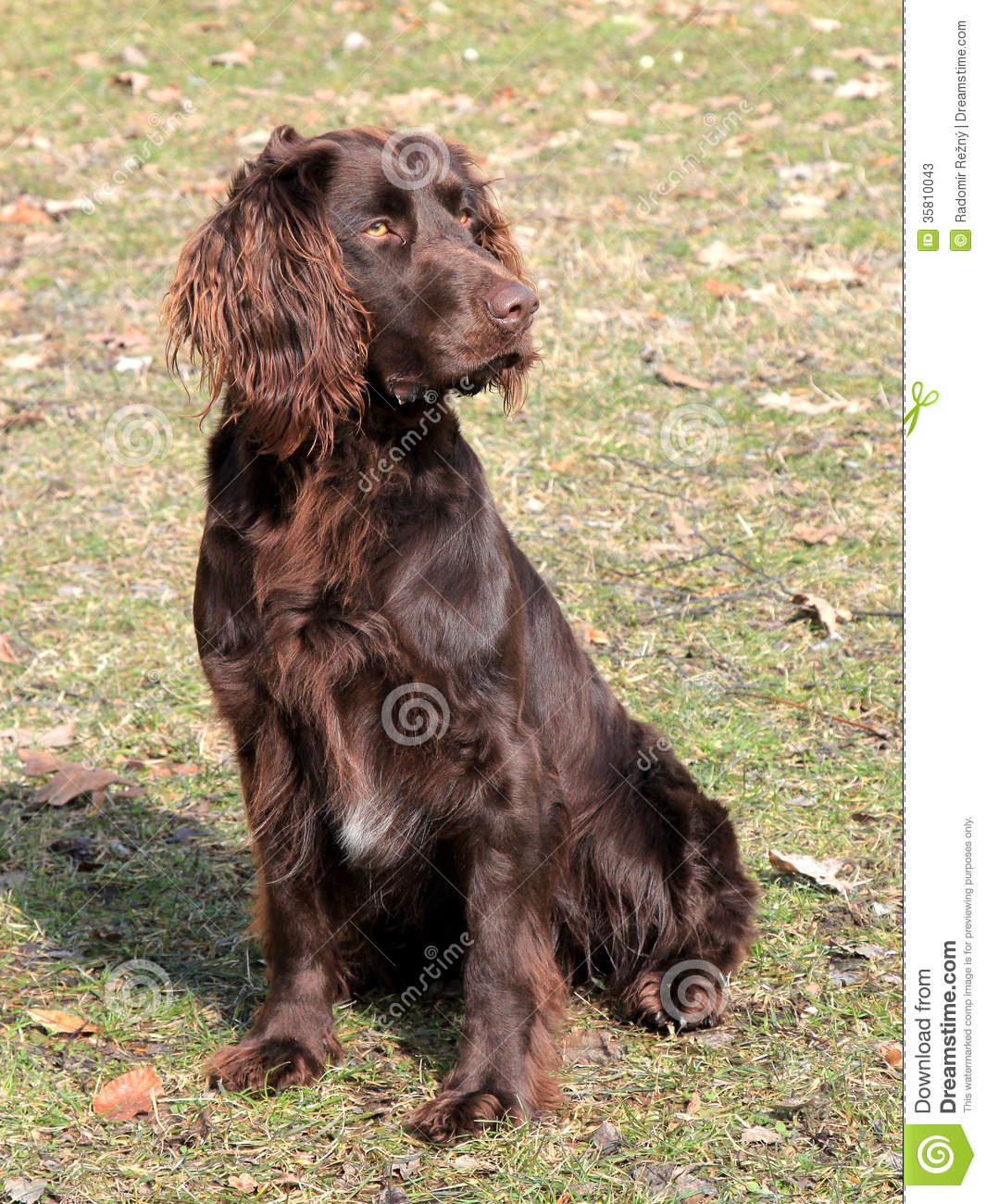 German Spaniel Dog: German Stock S Brown German Spaniel Dog Autumn Garden Breed