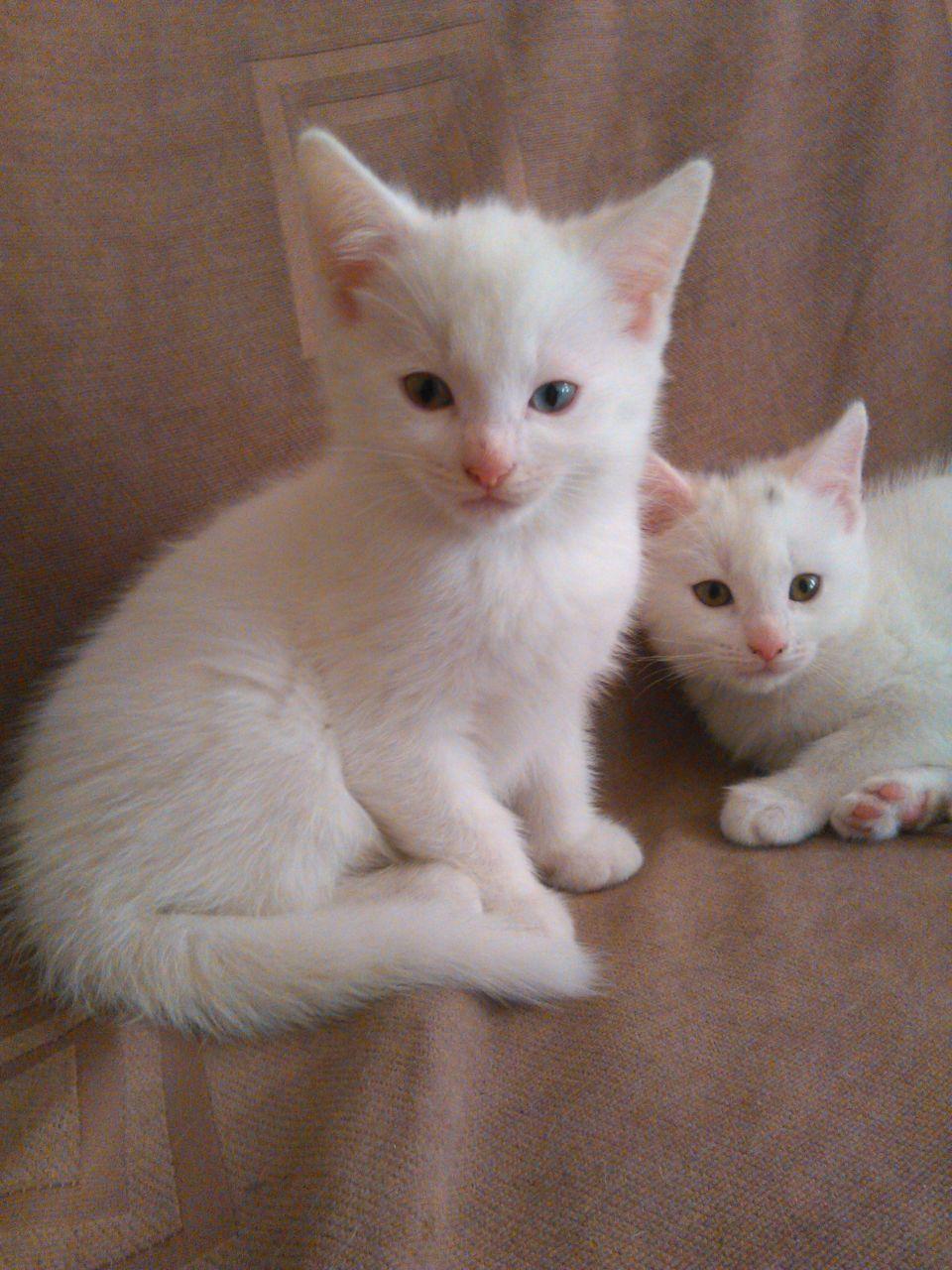 Turkish Angora Kitten: Gorgeous White Turkish Angora Kittens Twickenham Breed
