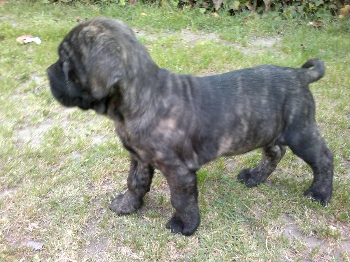 Gran Mastín de Borínquen Puppies: Gran Gran Mastcadn De Borcadnquen Puppy Breed