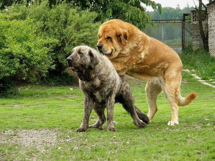 Gran Mastín de Borínquen Puppies: Gran Mastin Espanol Males Druso Breed