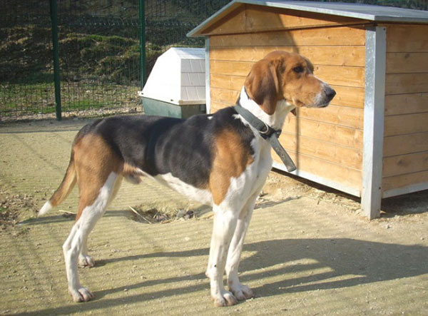 Grand Anglo-Français Tricolore Dog: Grand Great Anglo French Tricolour Hound Breed
