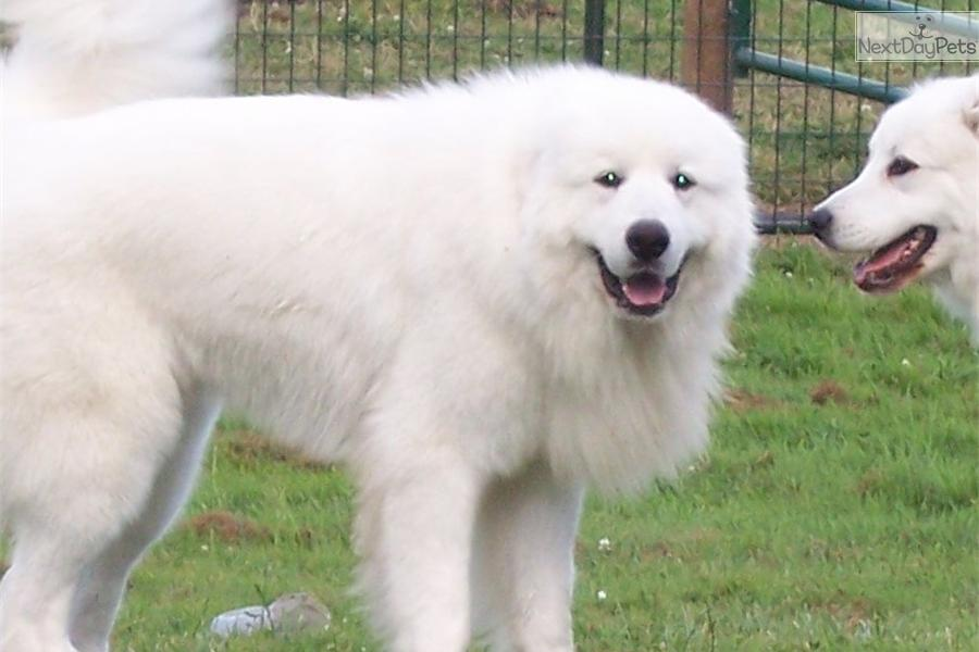 Great Pyrenees Puppies: Great Great Pyrenees Puppies For Sale Breed