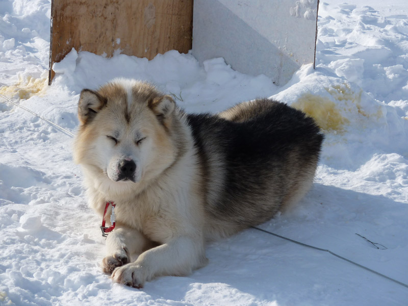 Greenland Dog: Greenland View Breed