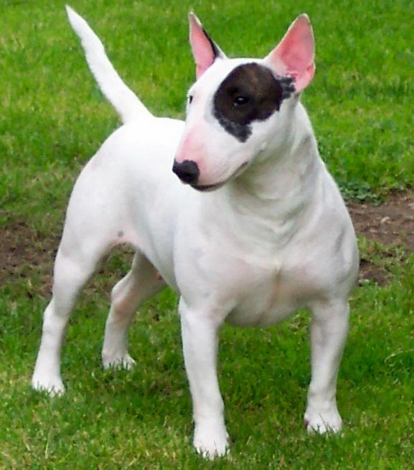 Gull Terrier Dog: Gull Miniaturebullterrier Breed
