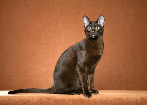 Havana Brown Cat: Havana Cat Breeds Youve Probably Never Heard Of