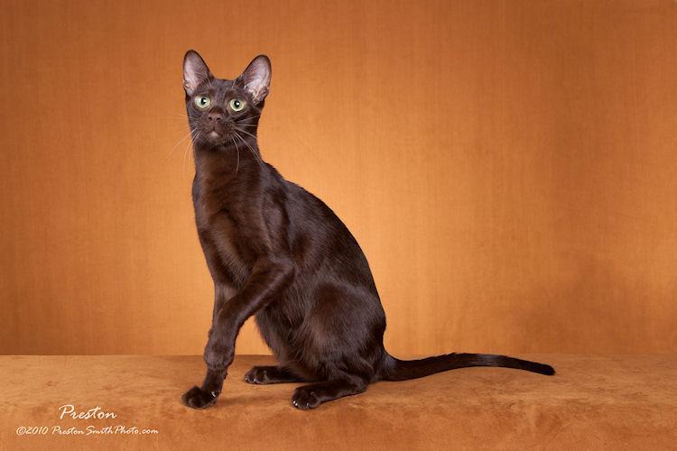 Havana Brown Cat: Havana Cat Insurance For Havana Brown Cats Breed