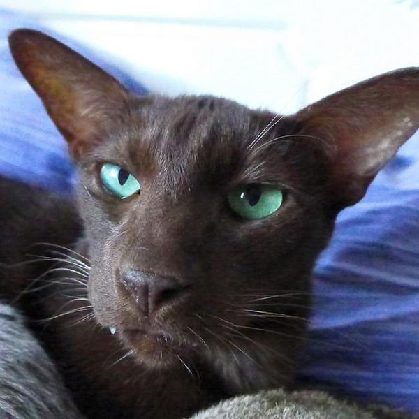 Havana Brown Cat: Havana Chocolate Brown Cat With Blue Eyes Breed