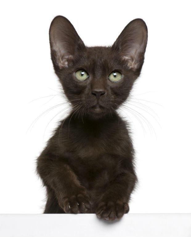 Havana Brown Cat: Havana Exotic Facts About Havana Brown Cats Breed