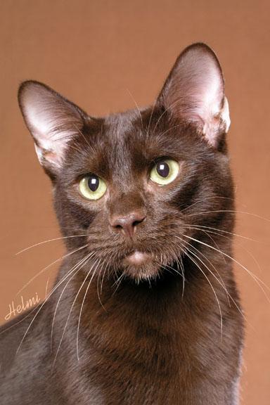 Havana Brown Cat: Havana Havanna Brown Breed