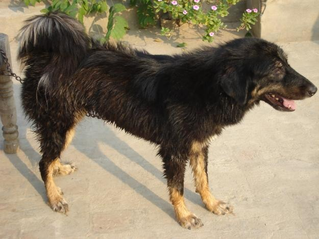 Himalayan Sheepdog Dog: Himalayan Breed