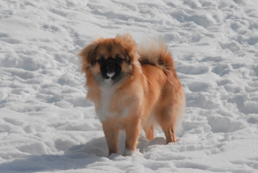 Himalayan Sheepdog Dog: Himalayan Dogs Himalayas Breed