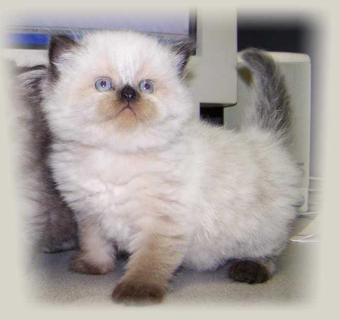 Himalayan Kitten: Himalayan Funny Pictures Himalayan Kittens Breed