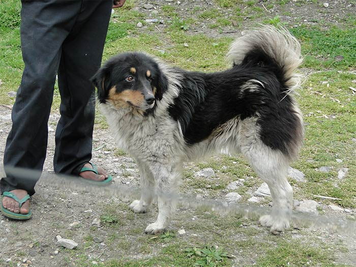 Himalayan Sheepdog Dog: Himalayan Himalayan Sheepdog Puppies Breed