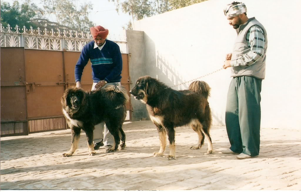 Himalayan Sheepdog Dog: Himalayan Httpcciytimgcomcvicloliygzhhacjpg Breed