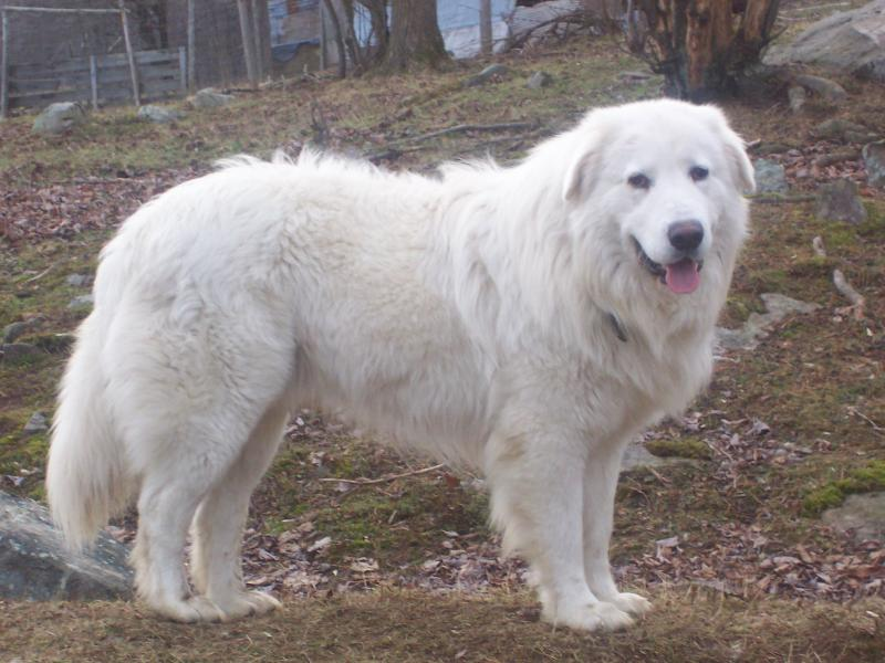 Himalayan Sheepdog Dog: Himalayan Maremma Sheepdog Maremma Sheepdog In Breed