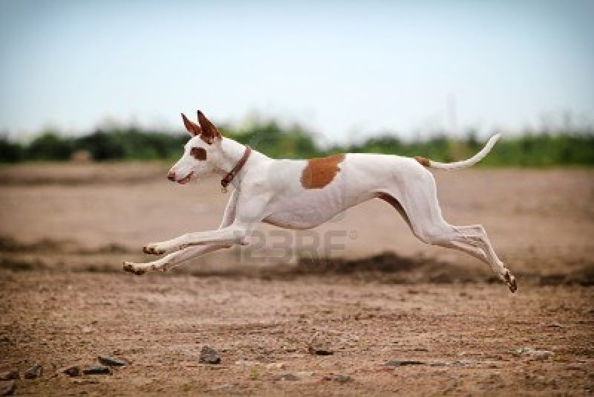 Ibizan Hound Dog: Ibizan Jumping Ibizan Hound Dog Breed