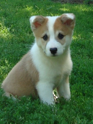 Icelandic Sheepdog Puppies: Icelandic Breed