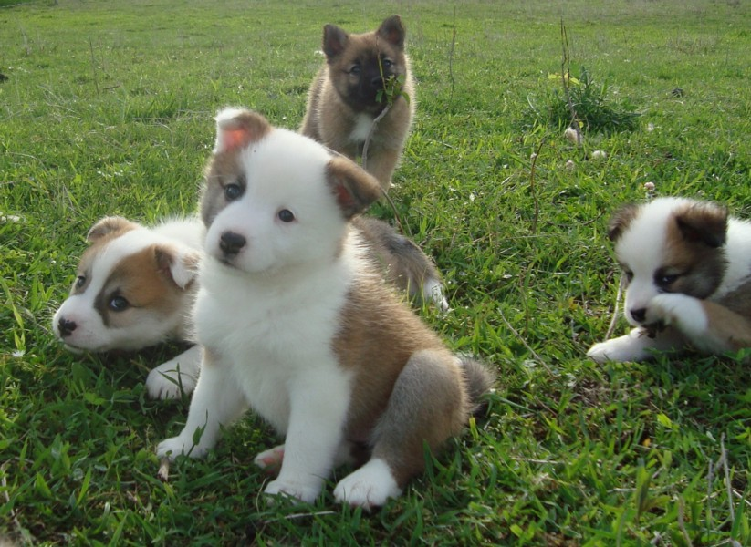 Icelandic Sheepdog Puppies: Icelandic Icelandic Sheepdog Puppies Enjoy Breed