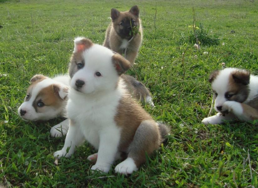 Icelandic Sheepdog Puppies: Icelandic Icelandic Sheepdog Puppies Enjoy Breed
