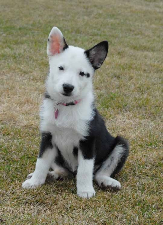 Icelandic Sheepdog Puppies: Icelandic Icelandic Sheepdog Puppies In Alberta Breed
